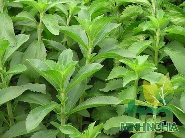 lá cỏ ngọt giúp giảm cân béo, giảm mỡ máu