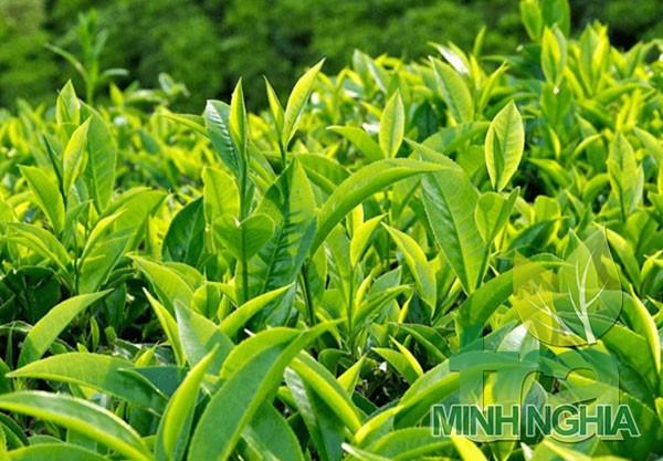 lá trà xanh có thể giúp giảm béo hiệu quả